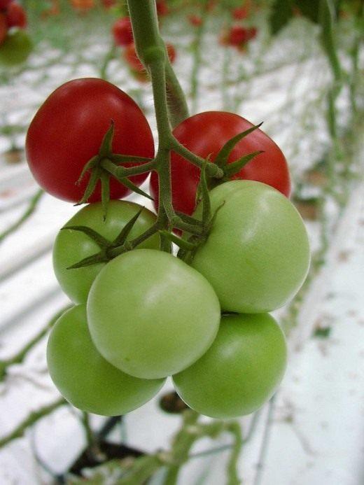 Томат (Tomato)